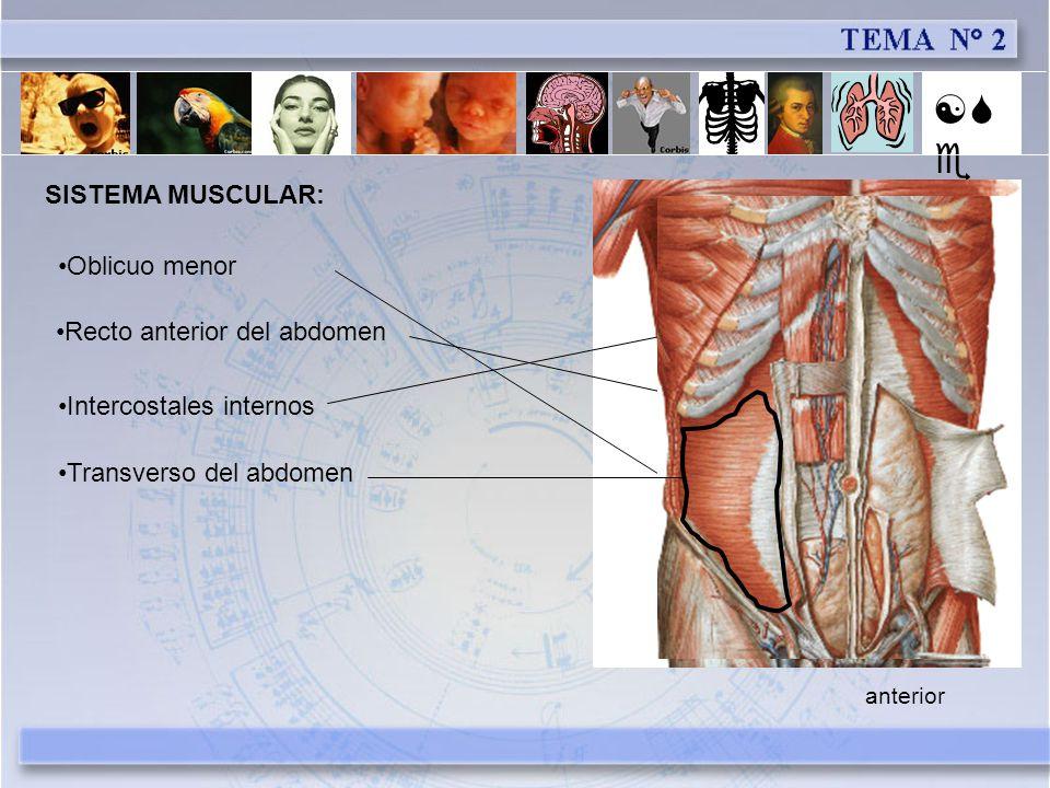 [Se] SISTEMA MUSCULAR: Oblicuo menor Recto anterior del abdomen